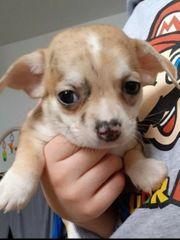 Wunderschöner reinrassiger Chihuahua rüde abzugeben