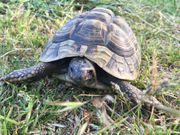 Weibl Griechische Landschildkröte Maxi sucht