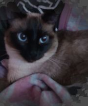 Wurfankündigung Siam Kitten