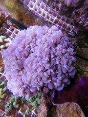 Blasenkoralle Meerwasser XXL