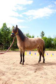 Pferd Pony reiten Bodenarbeit Eierlegendwollmilchsau