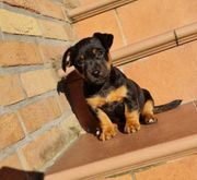 Jack Russell Black and Tan