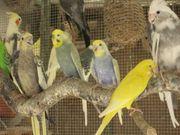 zuchtreife Wellensittiche Sittiche als Partnervogel
