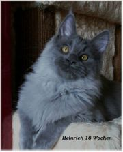 Maine Coon Kater blue-smoke