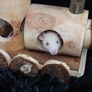 2 Silver Fawn Ratten Babys