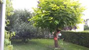 Trompetenbaum