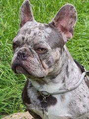 Französische Bulldogge Rüde lilac merle