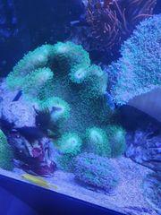pilzlederkoralle meerwasser koralle 20-30cm durchmesser