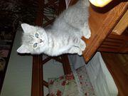 2 bkh kitten