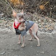 Chinese Crested mit Handicap