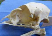 Schädel Kopfschädel eines Emus