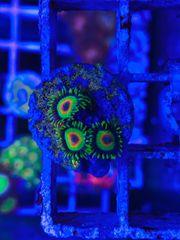 Krustenanemonen Ableger Meerwasser Korallen