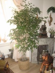 großer Ficus Benjamin mit schönen