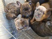 französische Bulldogen Welpen