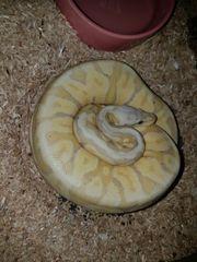 Königspython Banana Super Pastel