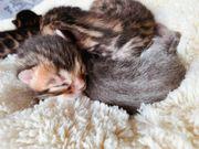 Wunderschöne reinrassige Bengal Kitten abzugeben