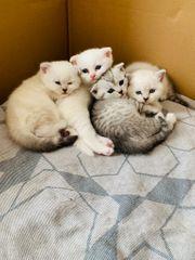 BKH zauberhafte Kitten in seltenen