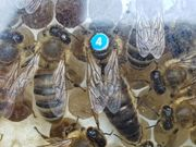 Bienenköniginnen Carnica