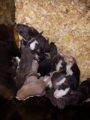 Ratten in Verschiedene Größen abzugeben