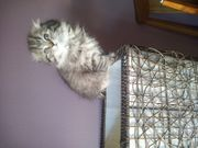 Scottish Fold und BKH kitten