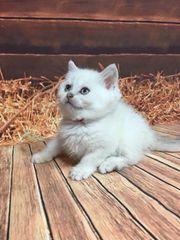 BKH Kitten Silver shaded Stammbaum