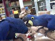 Paar Hyazinth-Ara-Papageien
