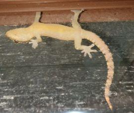 5-6 Jungferngecko Lepidodactylus lugubris Zwerggecko: Kleinanzeigen aus Pfedelbach - Rubrik Reptilien, Terraristik