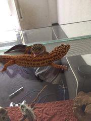 weibliche Leoparden Geckos mit Zubehör
