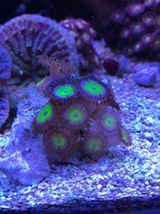 Meerwasser Korallen Zoanthus Candy Apple