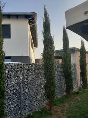 Vier Toscana Zypressen