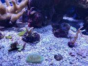 Meerwasser SPS LPS Korallen Anleger
