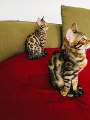 Reinrassige Bengal Kitten Katze Kater