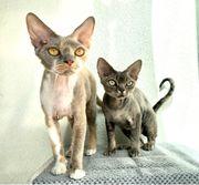 2 Devon Rex Katzen mit