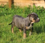 American Bully XL tricolor