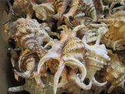 RAR Lambis chiragra Spinnen-Schnecke Muschel