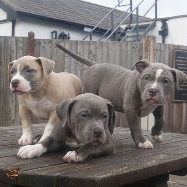 American Pocket Bully Welpen Djbdv In Augsburg Hunde Kaufen Und