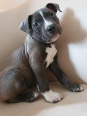 American Pitbull Baby Lilac