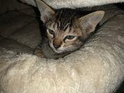 Kätzchen im Wildkatzenlook Savannah F5