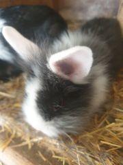 Minilop kaninchen