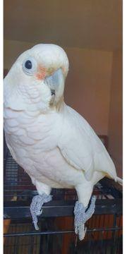 Goffin Kakadu 7 Jahre alt