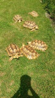 Sulcata Schildkröten