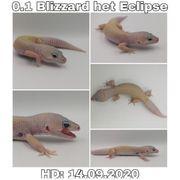 0 4 Blizzard Leopardgeckos Eublepharis