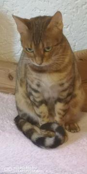 Wunder schöne Bengal Katze abzugeben