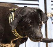 TACA Terrier Boxer Mischlingshündin - ist