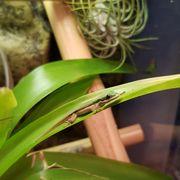 Schwarzstreifen-Taggeckos phelsuma nigristriata Jungtiere