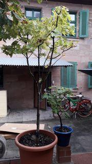 Topfbäume