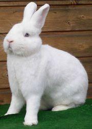 Kaninchen Weiße Wiener u Kbr