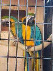 Blau- und Goldkeilschwanzsittichpaare