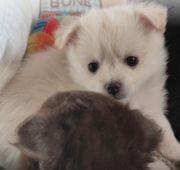 Pomerian Chihuahua PomChi Welpen