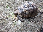 2 Pantherschildkröten Männlich abzugeben